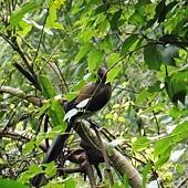 (鴉科)樹鵲