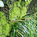 (書帶蕨科)姬書帶蕨,低海拔地區岩石上或樹幹上常見的蕨類。姬書帶蕨的嫩葉會捲曲。