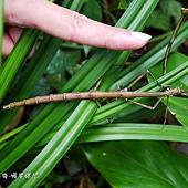 竹節蟲,竹節蟲,又稱是節肢動物門昆蟲綱竹節蟲目的總稱。草食性的昆蟲,以善於擬態成樹枝或樹葉著稱