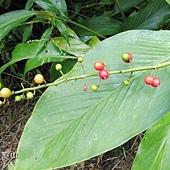 (薑科)山月桃種子.jpg