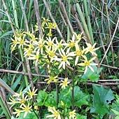 (菊科)台灣山菊