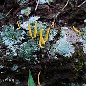 (珊瑚菌科)紡錘形擬鎖瑚菌