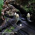 (炭角菌科)多形炭角菌...「多形炭角菌」是寄生在腐爛的樹木裡,長出來約3~8公分高,是世界各地都蠻常見的真菌類,會散發黑色的孢子,外表呈黑色或褐色,在歐美稱做《死者的手指》(Dead Man's Fingers),從枯萎腐爛的樹木當中長出來,真的長得很像土裡伸出來的死人手指,像極了殭屍那種膚色慘白又潰爛的手指,雖然《死者的手指》沒有毒,但這外表也不會讓人想輕易接近吧。(取自網路)這個真菌我覺得很有意思,可以參考此網址http://www.buzzbooklet.com/card/505698