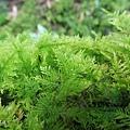 (羽蘚科)大羽蘚-苔蘚植物有的完全沒有莖,根、葉的分別(苔類),有的則有莖及葉的粗淺區別(蘚類)。  所有苔蘚植物都沒有維管束構造,輸水能力不強,因而限制它們的體型及高度