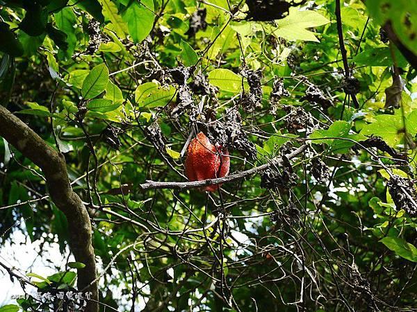 (葫蘆科)木鱉果