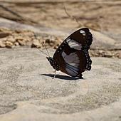 (蛺蝶科)紅紫蛺蝶