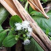 (菊科)藿香薊