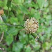 (菊科)粉黃纓絨花