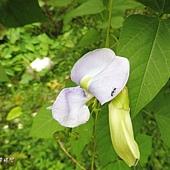 (豆科)翼豆的花又稱四棱豆(龍豆)