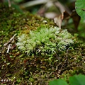 (白髮蘚科)白髮蘚-苔蘚植物有的完全沒有莖,根、葉的分別(苔類),有的則有莖及葉的粗淺區別(蘚類)。  所有苔蘚植物都沒有維管束構造,輸水能力不強,因而限制它們的體型及高度