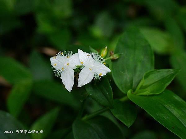 (鴨跖草科)巴西水竹葉