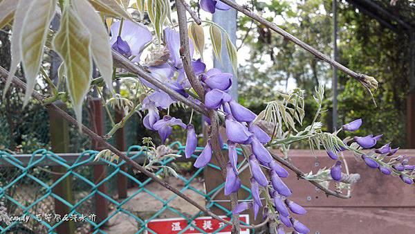 (豆科)紫藤