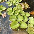 (槐葉蘋科)槐葉蘋別名人厭槐葉蘋,槐葉蘋(Salvinia molesta)是一種水生蕨類植物。