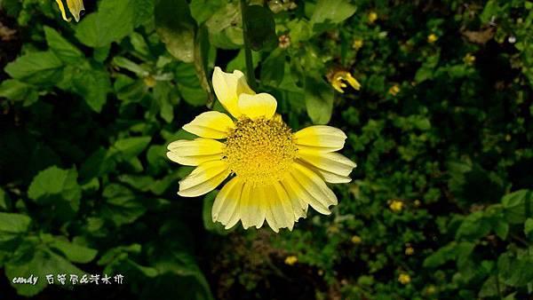 (菊科)茼蒿菜的花