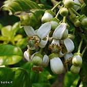 (芸香科)柚子的花
