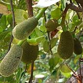 (桑科)菠蘿蜜
