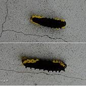 (斑蛾科)無尾鳳斑蛾的幼蟲