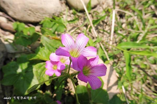 (酢漿草科)紫花酢醬草