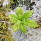 (苦苣苔科)石吊蘭,空有「蘭」名,實非蘭科。被稱石吊蘭大概跟她著生在岩石、樹上,垂枝而下有關。其漏斗形筒狀花是典型的苦苣苔科花徽。石吊蘭通常散生全島低至中海拔山谷。