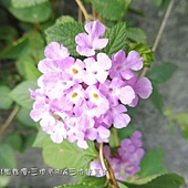 (馬鞭草科)蔓性紫花馬纓丹.jpg