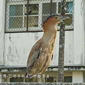 (鷺科)黑冠麻鷺