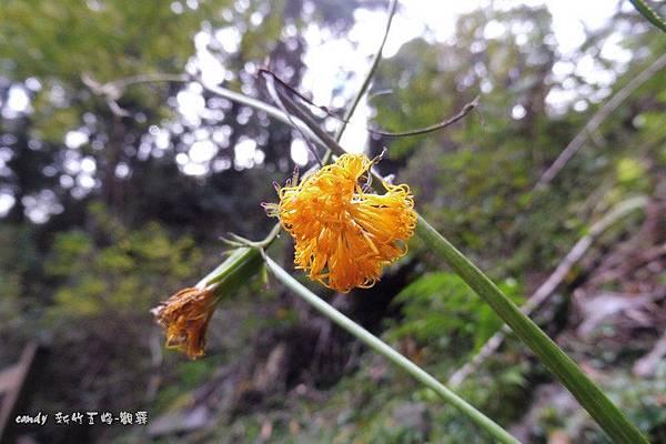 (菊科)黃花三七草