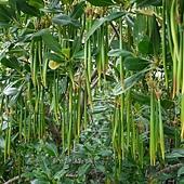 (紅樹科)水筆仔,別名又稱「秋茄樹」、「茄藤樹」因幼苗像是一枝枝懸掛的筆,而得名。