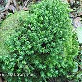 (苔蘚植物)大金髮蘚