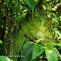 (松蘿科、地衣體)松蘿,地衣體,莖狀地衣,地衣依形狀大致分為枝狀、殼狀和葉狀地衣,松蘿是枝狀地衣的一種,葉狀地衣如同在岩石或樹幹上所見的粉白色斑痕,這些都是由藻類和真菌兩者共生所組成的生物。藻類行光合作用製造養分,真菌吸收水分和無機鹽,這兩者的分工讓他們形成共生關係,另外,菌絲形成一種「假根」讓地衣能固著在樹皮或岩石上,形成樹上或岩石上生長的奇景。
