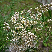 (小檗科)南天竹