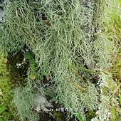 (松蘿科)松蘿-地衣體枝狀