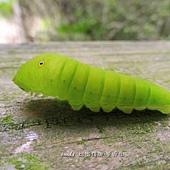 (鳳蝶科)青斑鳳蝶的幼蟲