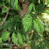 (松科)台灣杉