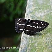 (蛺蝶科)台灣三線蝶