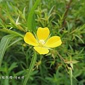 (柳葉菜科)水丁香