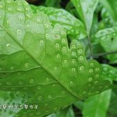 (三叉蕨科)蛇脈三叉蕨