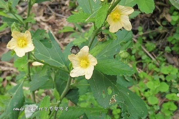 (錦葵科)金午時花