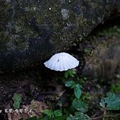 乳白小白菇