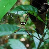 (金蛛科)悅目金蛛,外觀近似中形金蛛但本種近腹端的2條黑褐色橫帶內密布橫向的白色小斑點,與中型金蛛的不規則白斑不同,分布於1000公尺以上山區,不普遍。