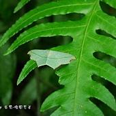 (尺蛾科)缺口姬尺蛾-翅面橄欖綠或黃褐色,前後翅中央有一黃褐色橫帶,展翅時兩翅相連,前後翅中室端各有一枚白斑,前翅頂角下方具鐮刀狀凹陷,邊線黑褐色,此為命名的由來 。本屬一種,普遍分布於低中海拔山區,數量很多。