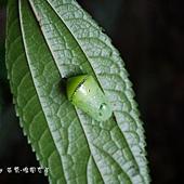 (蛺蝶科)淡紋青斑蝶,蛹,綠色,背方最寬處有一條銀白色的橫紋