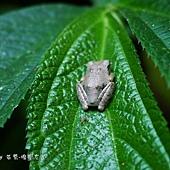 (樹蛙科)面天樹蛙