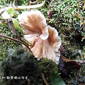 (雞油菌科)金黃喇叭菌