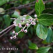 (杜鵑花科)珍珠花果實
