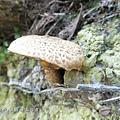 (側耳科)虎皮香菇