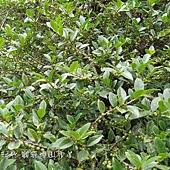 (茶科)假柃木