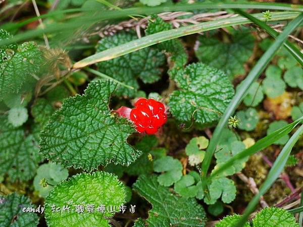 (薔薇科)刺萼寒梅