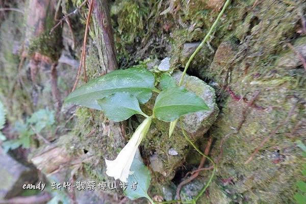 (龍膽科)台灣肺形草--花萼萼片較長