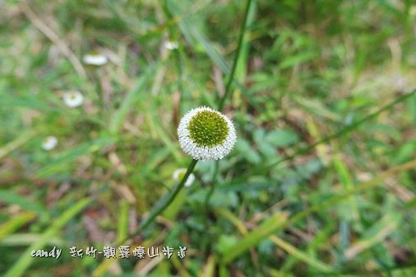 (菊科)矮菊