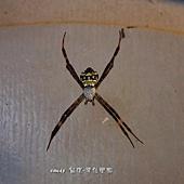 (金蛛科)中型金蛛,雌蛛體長13-17mm、雄5-6mm,頭胸部具銀白色長毛,腹背略呈五角形,黃色,背上有黑色的橫紋帶,中間及腹末的橫帶較寬,底色橙紅色內有黑、白的斑紋排列